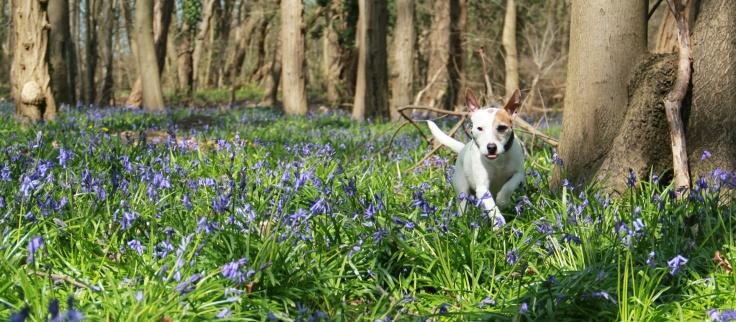"""Lolotte - Jacinthes des bois - """"Je tire la langue"""" - Funny dog.jpg"""