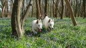 Les Loups-Loups - Jacinthes des bois - Des amis pour la vie (© Audrey S)