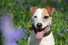 Lolotte - Jacinthes des bois - happy dog (© Audrey S)
