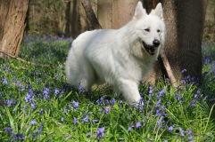 Loup-Loup - Jacinthes des bois - happy dog (© Audrey S)